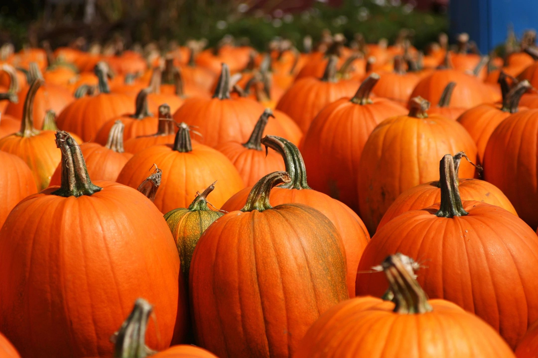 Year-Long Jack-O-Lantern Supply